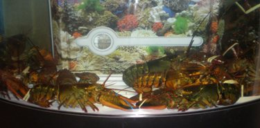 live maine lobsters baltimore maryland
